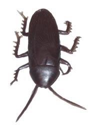 Kakkerlak  8 stuks